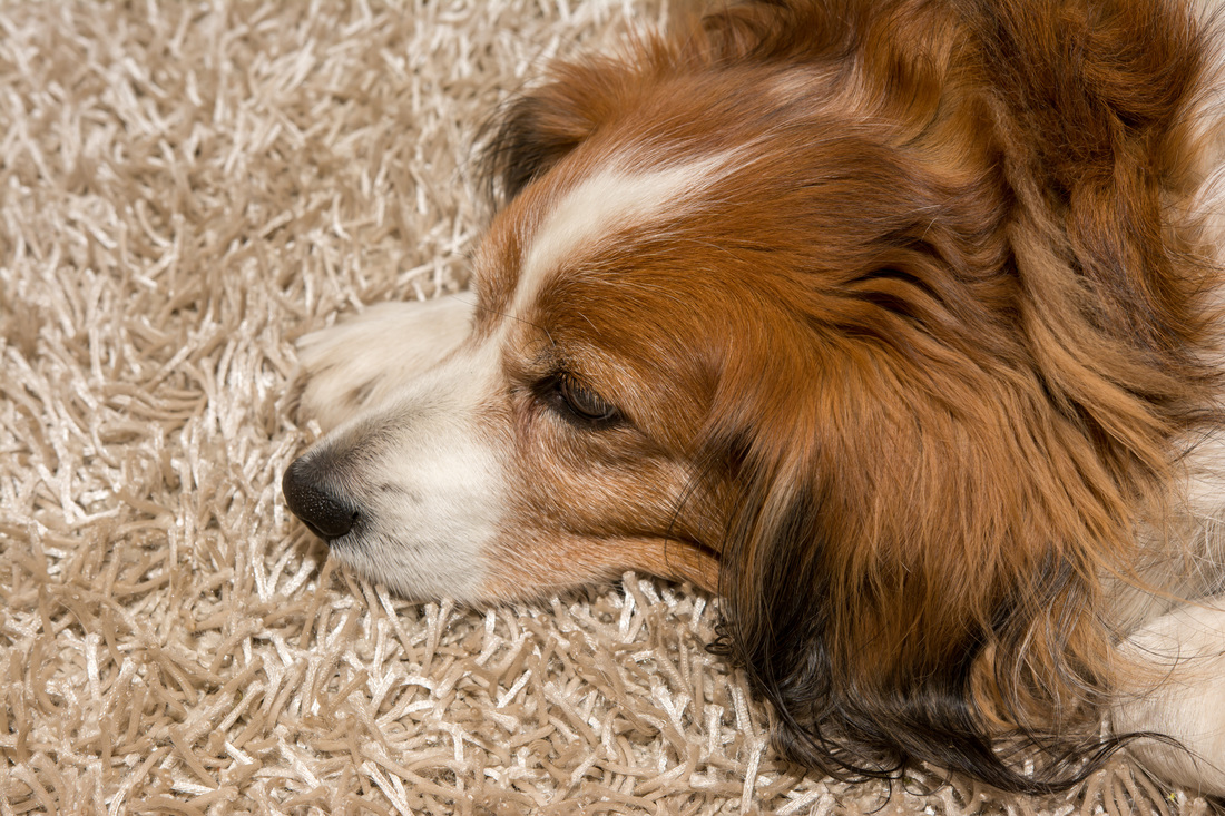 Dog hair removal from carpet